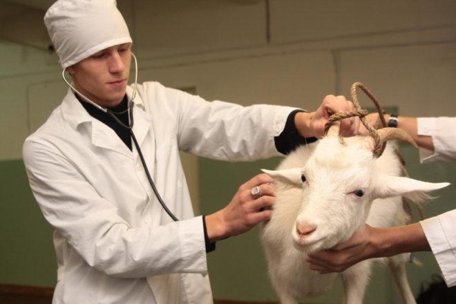 Наблюдение у врача увеличит срок жизни козы