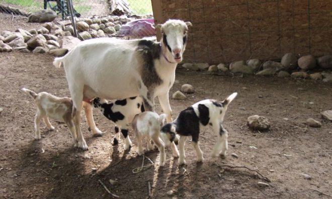 Кормящая коза