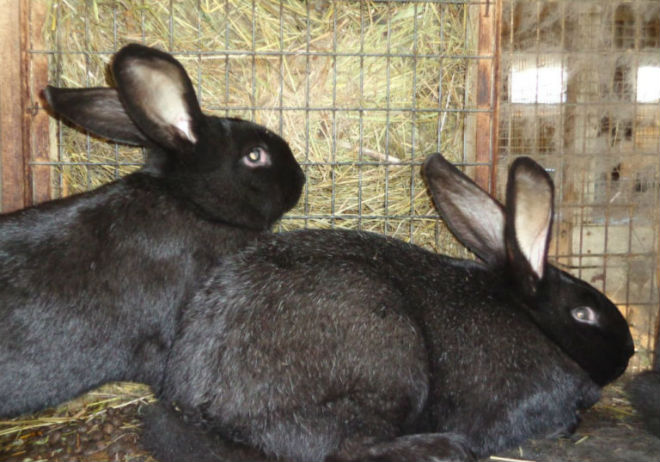 Черно-бурые кроли могут весть 8 кг