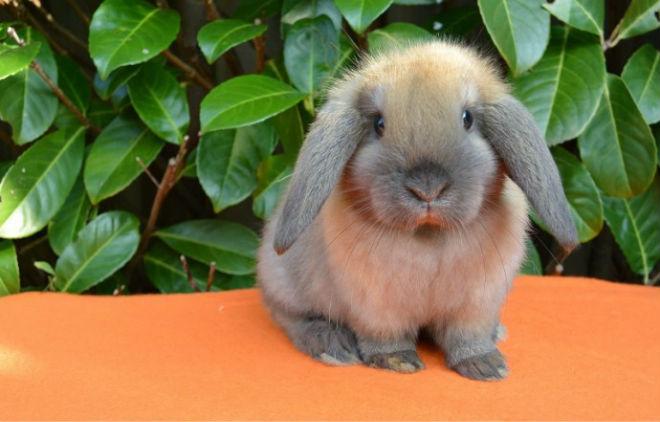 Кролики вислоухие имеют покладистых характер