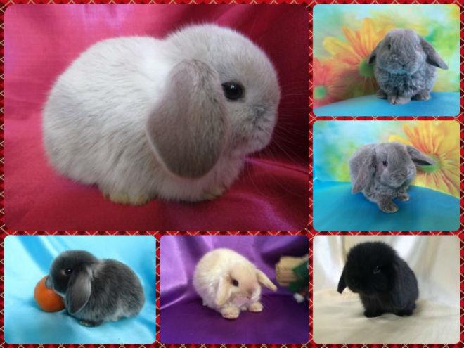 Вислоухие кролики бывают разных пород