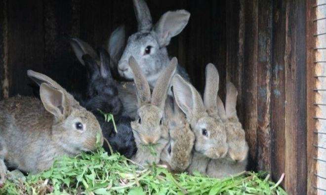Содержание кроликов на даче не хлопотное дело