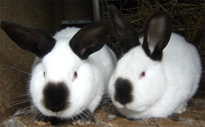 Калифорнийская порода кроликов устойчива к вирусным заболеваниям