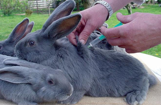 Вакцинирование кроликов эффективно против заболеваний