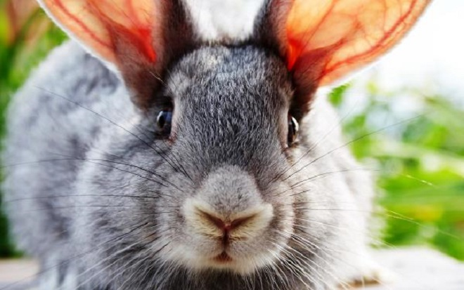 Ушной клещ у кроликов называют чесоткой или псороптозом