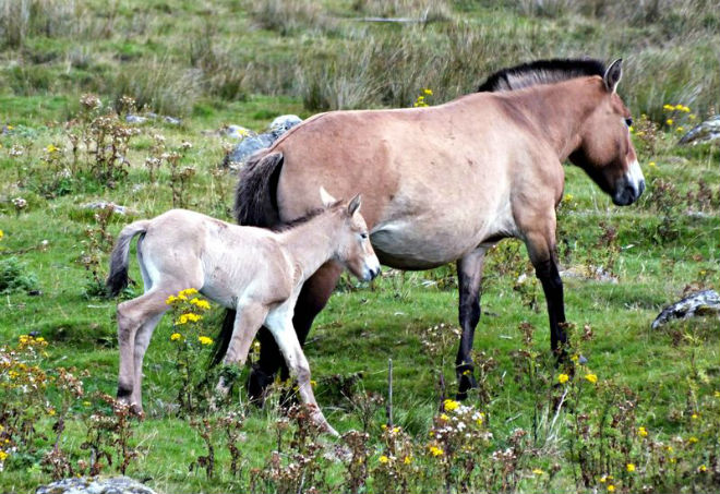 Жеребёнок лошади Пржевальского с мамой