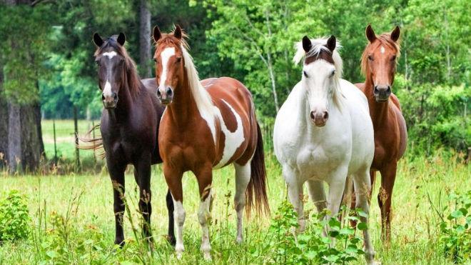 Четыре лошади разной масти, или окраса