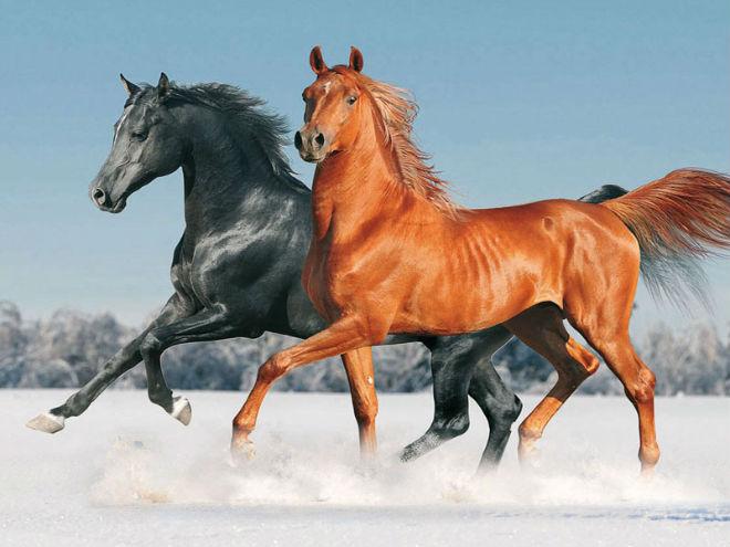 Лошади рыжей и вороной мастей
