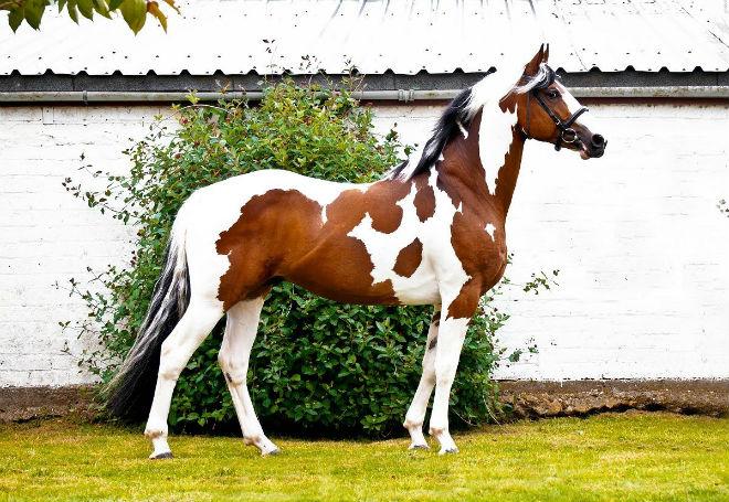 Лошадь редкой масти - пегой