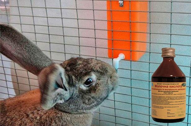 Молочная кислота применяется в кролиководстве