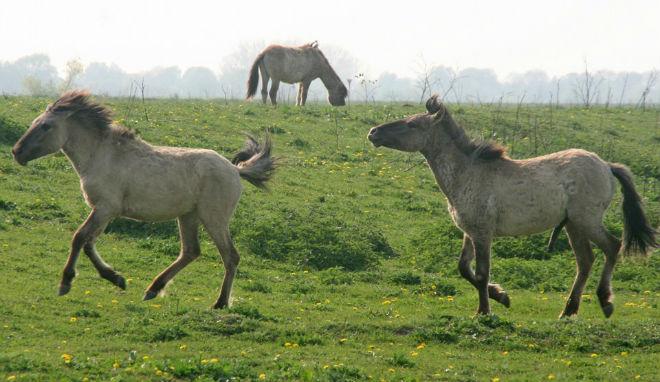 Мышастый оттенок идёт от дикой лошади - тарпана