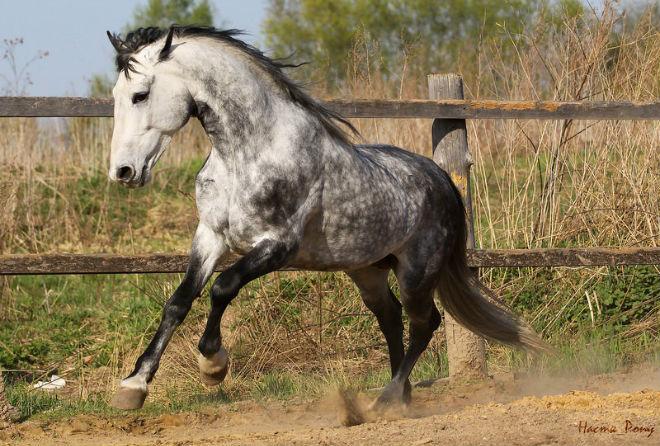 Орловский рысак стал гордостью российского коневодства.