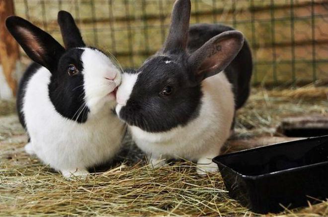 Пара кроликов готова к случке