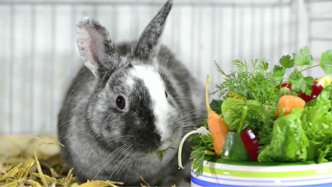 Кормление крольчихи после окрола должно быть полноценным