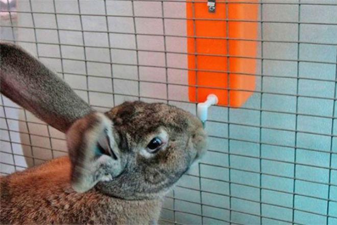 Во время лактации крольчиха пьет много воды