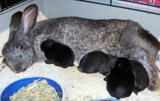 Суточной нормы крольчихи должно хватать ей и потомству