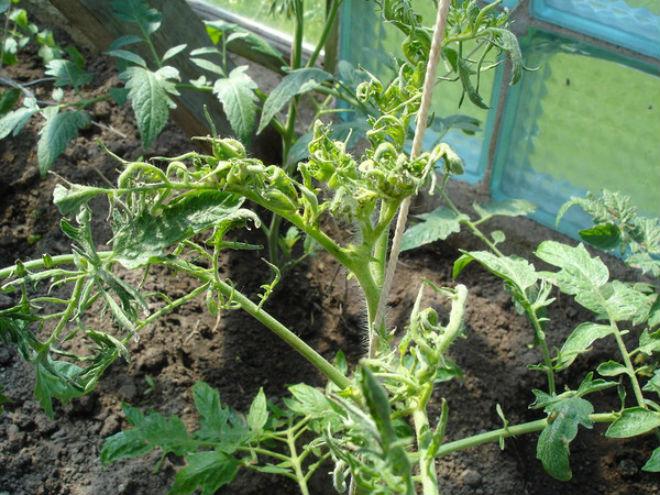 Повреждение корневой системы скручивает листья томата