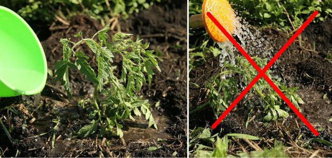 Неправильный полив может скрутить листья томатов