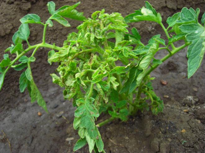 Листья помидор скручиваются из-за заболеваний