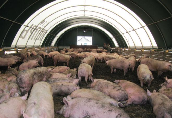 Свиньи в просторном ангаре на несменяемой подстилке