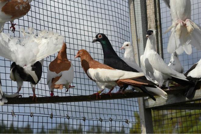 Количество пород голубей уже более 800