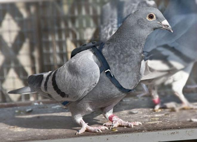 Почтовые голуби используются в спортивных состязаниях