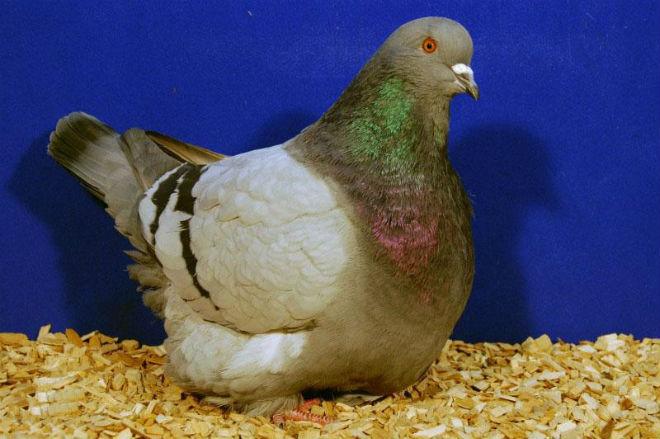 Представитель мясной породы голубей