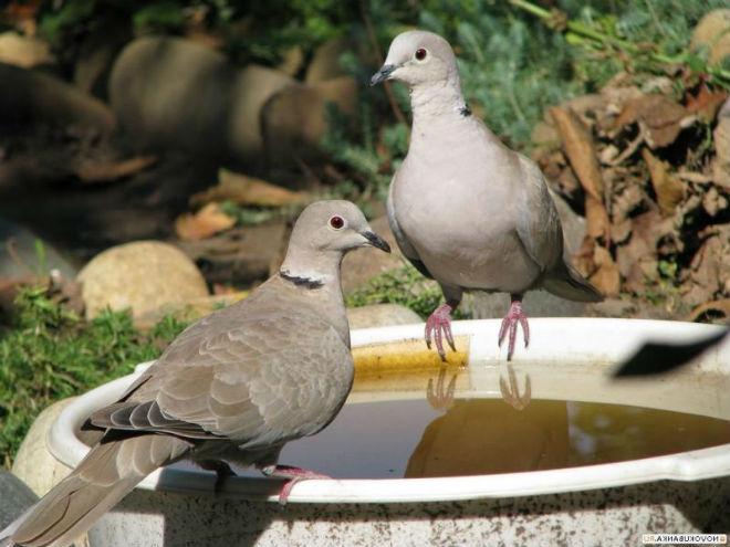 Сизые голуби - самые распространённые из диких