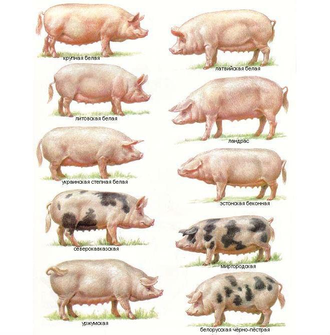 Виды свиней разновидности домашних свиней