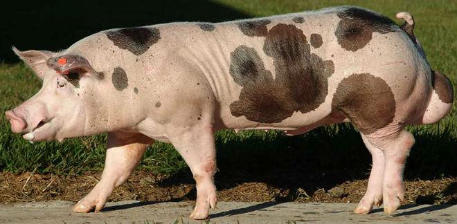 Мясная порода Пьетрен