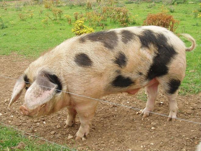 Ливенская порода свиней