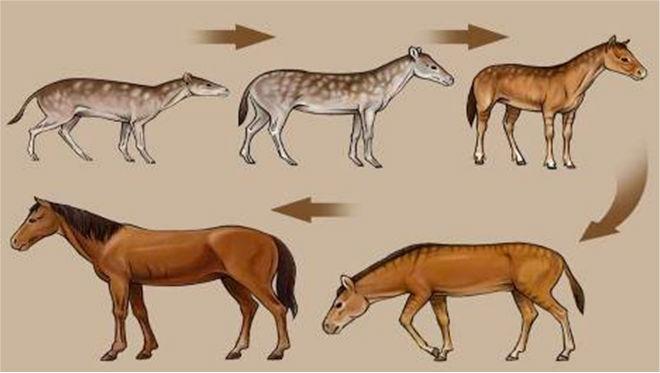 Эволюция семейства лошадиных