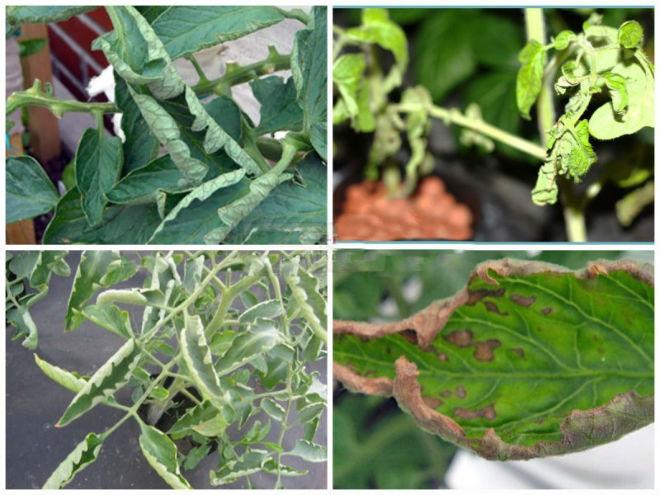 Листья томатов скручиваются из-за болезней