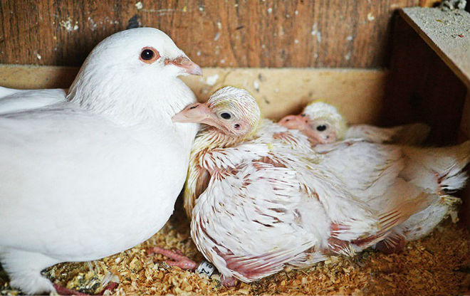 Детёныши голубей не похожи на своих родителей
