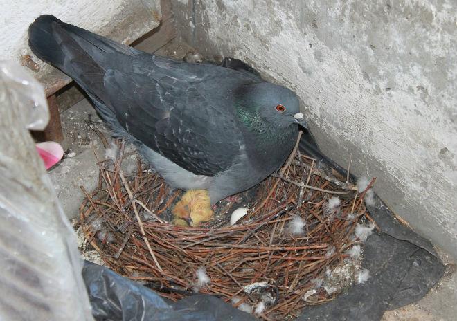 Самец и самка по очереди обогревают яйца
