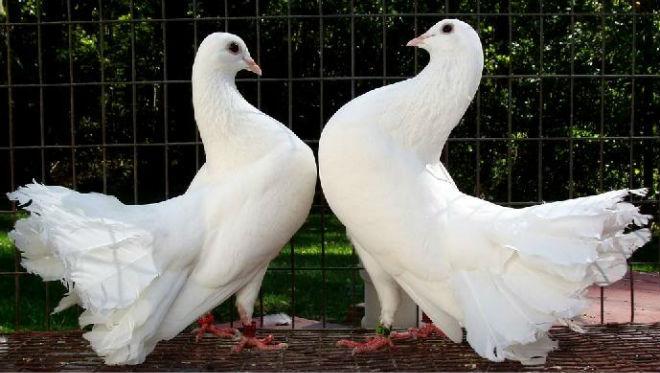 Голуби моногамны, живут парами