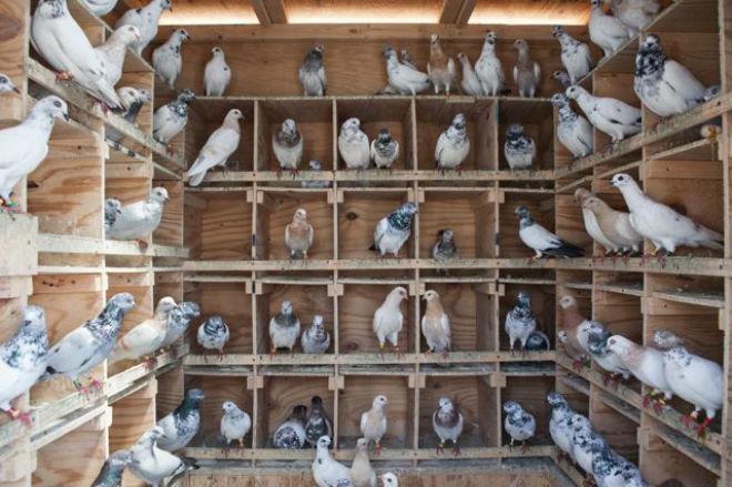 Голуби свободное время проводят на насестах