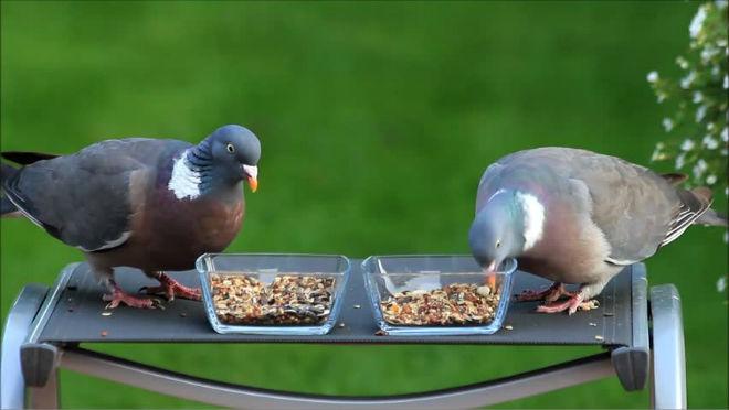 Дневная норма пищи для голубя - 50 грамм