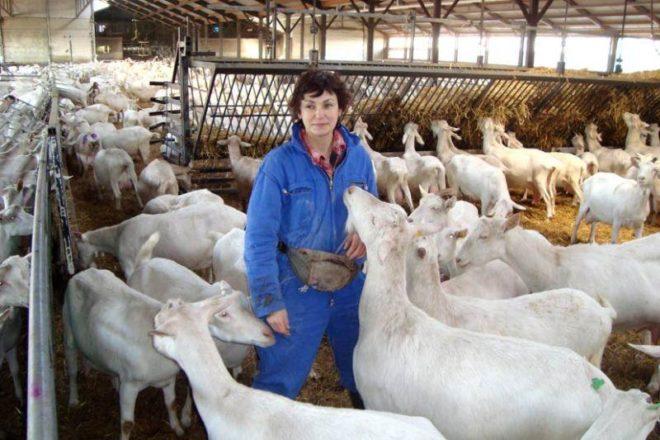 Козоводство - достойная альтернатива разведению коров