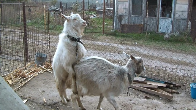 Случка у коз