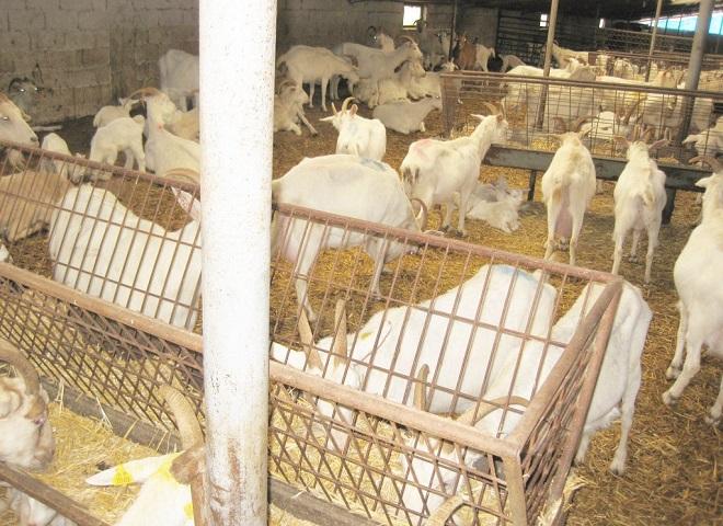 В сухом светлом козлятнике козы не болеют