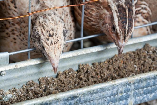 Самцов на мясо кормят 2 месяца, самок - около года
