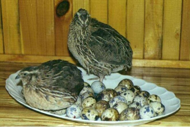 Перепелов разводят для получения яиц или ради мяса