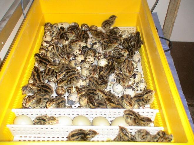 Птенцы перепелов должны обсохнуть в инкубаторе