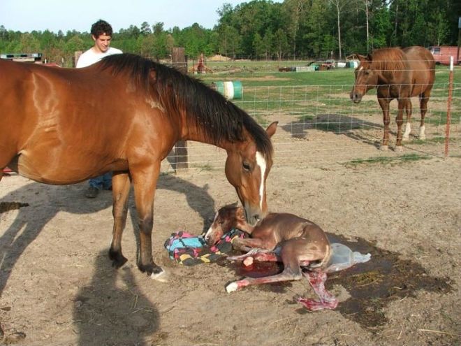 Лошадь, родившая жеребёнка, ухаживает за ним сама