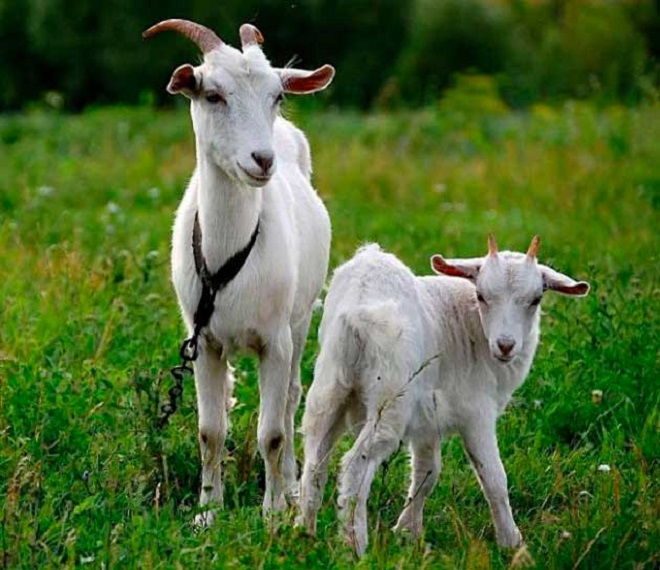 Коза может принести до 3 козлят за раз