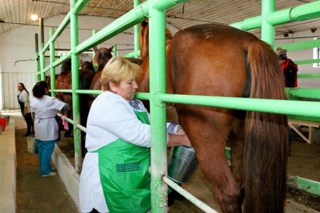 Тяжеловозов на молочной ферме доят как коров