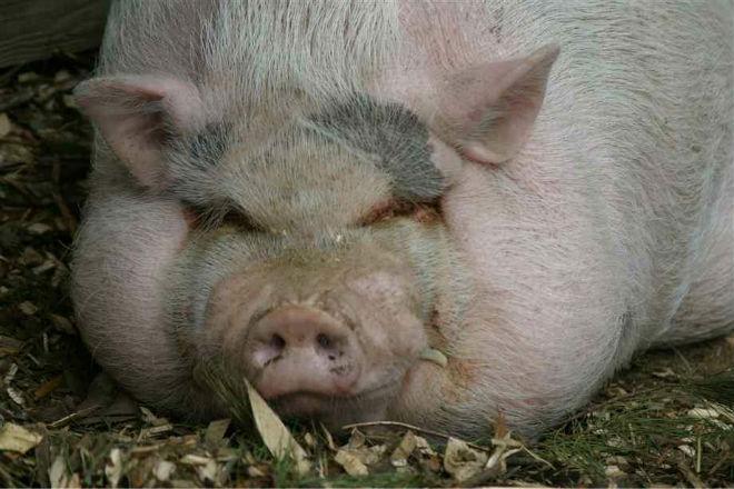 Большая свинья - мечта любого хозяина