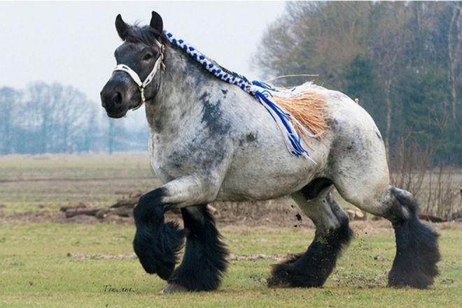 Самые большие лошади - это тяжеловесы