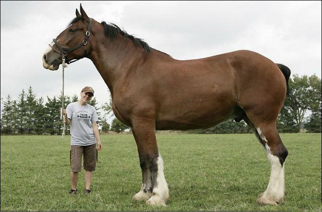 Конь По - самая высокая лошадь в мире